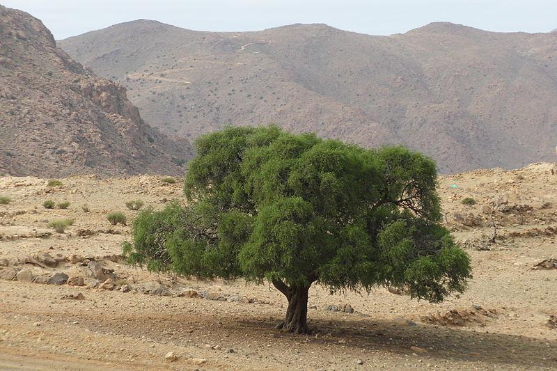 Arganovo olje - zlati nektar lepote