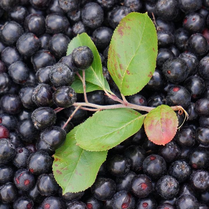 aronija-priljubljeno-rastlina-za-vecanje-odpornosti-pri-otrocih